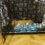 Szczeniak śpi w klatce kenelowej.