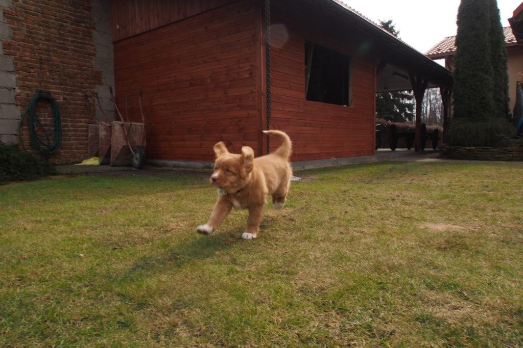 Zdjęcie szczeniaka rasy toller biegnącego potrawniku